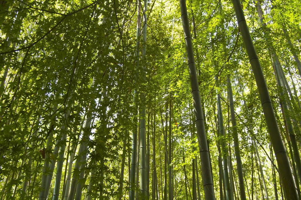Bamboo Forest with Maple